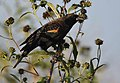 Red-winged Blackbird (36942939514).jpg