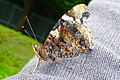 Red Admiral with closed wings.jpg