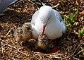 Red Billed Gull And Chicks (9781477384).jpg