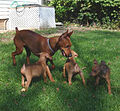 Red German Pinscher with Puppies.jpg