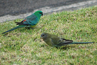Broad-tailed parrot