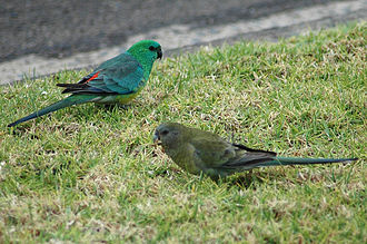 Broad-tailed parrot - A pair of red-rumped parrots