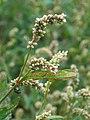 Redshank (Persicaria maculosa) (4860384841).jpg