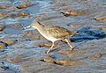 Redshank on the Humber Foreshore - geograph.org.uk - 611668.jpg