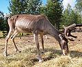 Reindeer in Ysitien Lemmikki.jpg