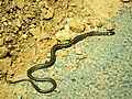 Reptile Vipera ammodytes, Poskok.JPG