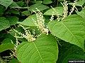 Reynoutria japonica flower (04).jpg