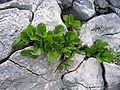 Rhamnus pumilla01.jpg