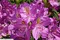Rhododendron catawbiense Lees Dark Purple 1zz.jpg