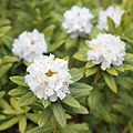 Rhododendron hippophaeoides-IMG 6679.JPG