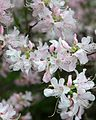 Rhododendron vaseyi (Pinkshell azalea) (26921639484).jpg