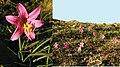 Rhodophiala rhodolirion.jpg