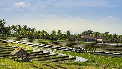 Rice fields of Bali.jpg