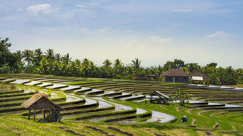 Fail:Rice fields of Bali.jpg