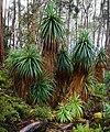 Richea pandanifolia fragment.jpg