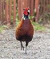 Ring-necked pheasant in Marine Park (41469).jpg