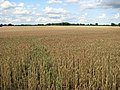 Ripening wheat at Spink's Hill - geograph.org.uk - 1406536.jpg