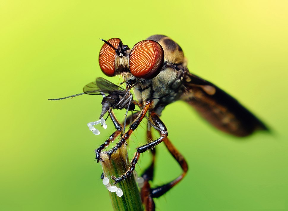 Robber Fly with prey (Holcocephala fusca) by Thomas Shahan