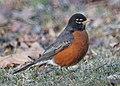 Robin (13191059924).jpg