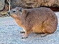 Rock Hyrax (Procavia capensis) (7042223567).jpg