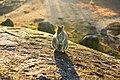 Rock Wallaby at Granite Gorge.jpg