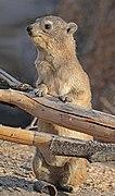 Rock hyrax (Procavia capensis) 2.jpg