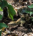 Rock python crop.jpg