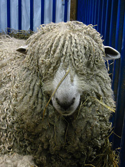 Romney (oveja) - Wikipedia, la enciclopedia libre