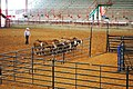 Ron Gill, Texas AgriLife Extension livestock specialist and effective stockmanship instructor, demonstrates effective stockmanship techniques at a Grazing Management and Stockmanship Clinic in Athens, Texas. (24818186820).jpg