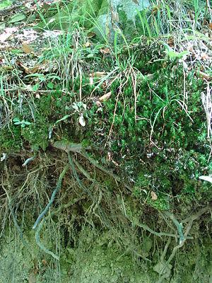 Roots, Medvednica, Croatia