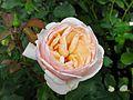 Rosa 'Alexandrine' 02.jpg