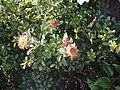 Rosa bracteata J. C. Wendl. (AM AK312346-2).jpg