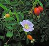 Rosa californica.jpg