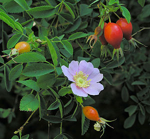 Rosa californica - Image: Rosa californica