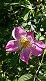 Rosa rubiginosa inflorescence (15).jpg