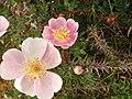Rosa spinosissima inflorescence (36).jpg