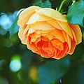 Rose, Pat Austin, バラ, パット オースチン, (21894864542).jpg
