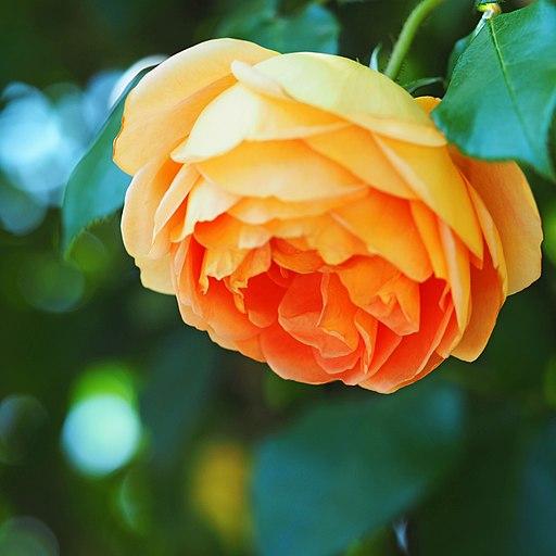 Rose, Pat Austin, バラ, パット オースチン, (21894864542)