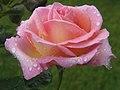 Rose (4640431078).jpg