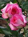Rose Angel Rose アンジェ ロゼ (4609321200).jpg