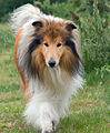 Rough-collie-dog-1364826831vnm.jpg
