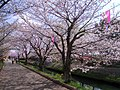 Row of cherry blossoms (Ebigawa river) - panoramio.jpg