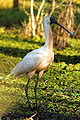 Royal Spoonbill.jpg