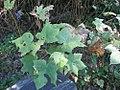 Rubus odoratus 6zz.jpg