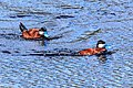 Ruddy Duck (Oxyura jamaicensis), 2 males, Strawberry Heights, Kamloops (27237047144).jpg