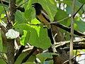Rufous Treepie IMG 4745.jpg