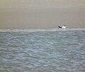 Ruhende Fluss-Seeschwalbe.JPG