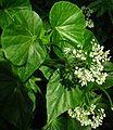 SDC11304 - Begonia odorata (Schiefblatt).JPG