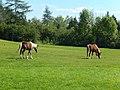 Sable Island horses at Shubenacadie Wildlife Park 06.jpg