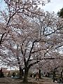 Sakura at Fukuoka Castle March2013 06.jpg